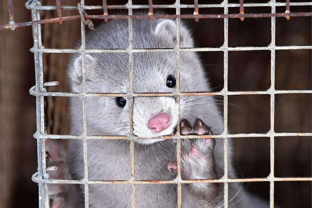 Pels er i ferd med å fases ut. Nå legger Sverige ned pelsindustrien grunnet Covid-19