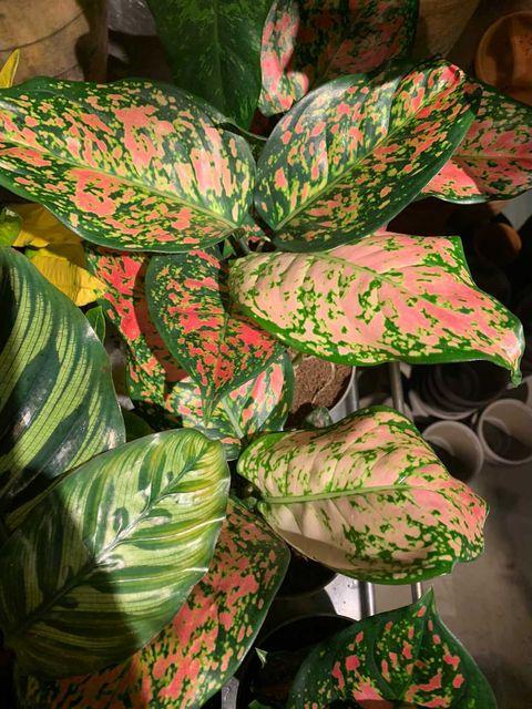 Det er populært med genmodifiserte, fargerike planter nå.